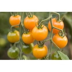 Tomate Cherry Amarillo...